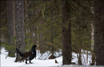 Western Capercaillie - Tetrao urogallus 2