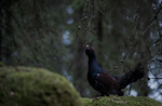 Western Capercaillie - Tetrao urogallus 8