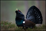 Western Capercaillie - Tetrao urogallus 10