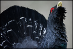 Western Capercaillie - Tetrao urogallus 11
