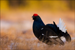 Black Grouse - Tetrao tetrix 9
