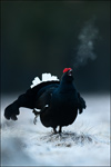 Black Grouse - Tetrao tetrix 11