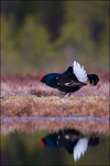 Black Grouse - Tetrao tetrix 15