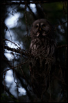 Great Grey Owl - Strix nebulosa 2
