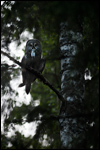 Great Grey Owl - Strix nebulosa 4