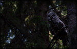 Great Grey Owl - Strix nebulosa 5