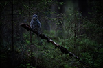 Great Grey Owl - Strix nebulosa 6