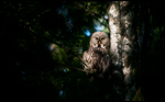 Great Grey Owl - Strix nebulosa 9
