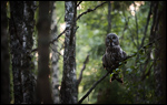 Great Grey Owl - Strix nebulosa 14