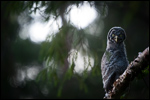 Great Grey Owl - Strix nebulosa 15