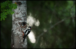 Great Spotted Woodpecker - Dendrocopos major 7