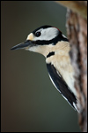 Great Spotted Woodpecker - Dendrocopos major 9