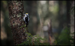 Three-toed Woodpecker - Picoides tridactylus