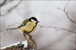 Great Tit - Parus major 2