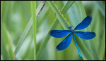 Beautiful Demoiselle - Calopteryx virgo