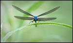 Beautiful Demoiselle - Calopteryx virgo 3