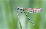 Beautiful Demoiselle - Calopteryx virgo 4