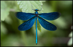Beautiful Demoiselle - Calopteryx virgo 5