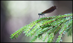 Beautiful Demoiselle - Calopteryx virgo 6