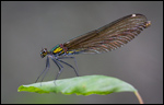 Beautiful Demoiselle - Calopteryx virgo 7