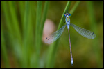 Common Spreadwing - Lestes sponsa 3