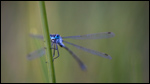 Common Spreadwing - Lestes sponsa 4