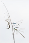 Common Spreadwing - Lestes sponsa 6