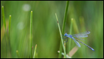 Common Spreadwing - Lestes sponsa 7