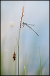 Common Spreadwing - Lestes sponsa 8