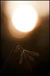 Common Spreadwing - Lestes sponsa 9