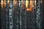 Birch forest and the sunset
