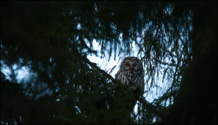 Viirup&ouml;ll&ouml; - Ural Owl - Strix uralensis
