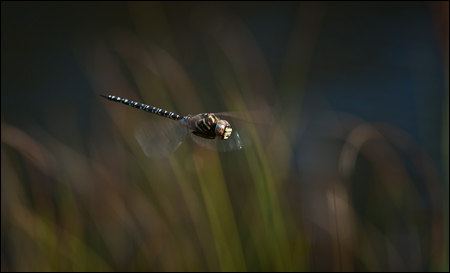 Flying bog hawker